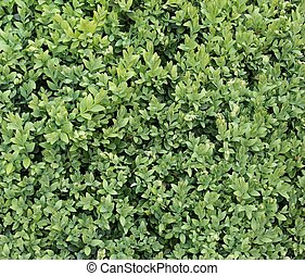 Buxus Sempervirens - Closeup photo of a buxus sempervirens -...
