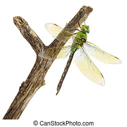 Dragonfly - closeup of big green dragonfly over white