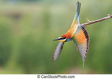 Paradise bird flies from branch - Paradise bird flies from a...