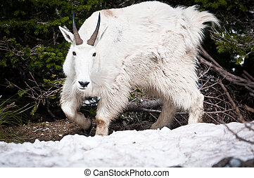Mountain goat on the patch of forest bed - Mountain goat...
