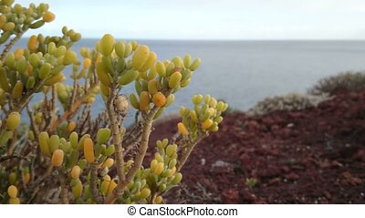 Vegetation growing on volcanic rocks beside the sea in the...
