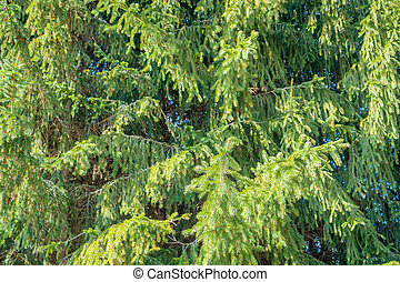 fir trees in sunny ambiance