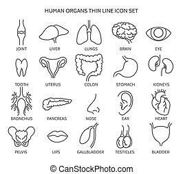 línea, humano, órgano, iconos