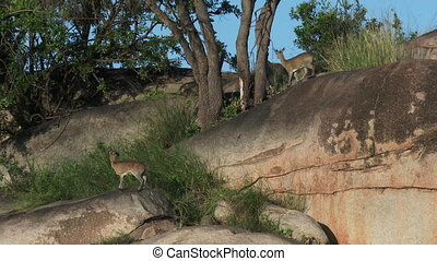 Klipspringer couple on rocks - Klipspringer (Oreotragus...