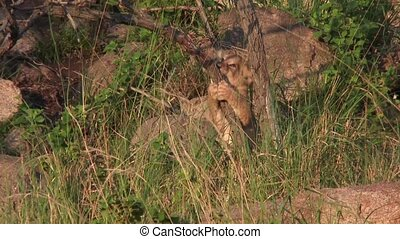 Lion cub playing with a tree - Lion cub(Panthera leo)...