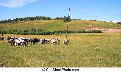 The Cows on Pasture. - Herd Cows on Pasture.