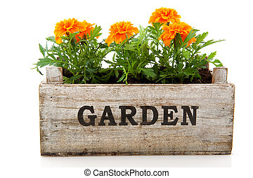Orange Tagetes in garden crate isolated over white