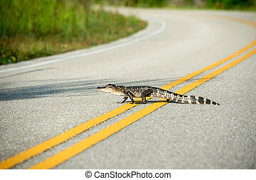 American alligator crossing the road - An American Alligator...