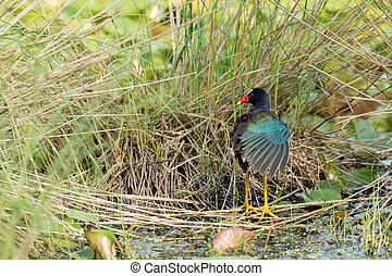 Purple gallinule in a swamp in St. Marks National WIldlife...