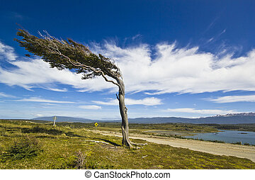misshapen by wind tree in patagonia tierra del fuego with...