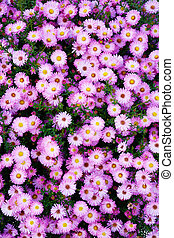 Small garden Astra flowers Group of Alpine asters Aster...
