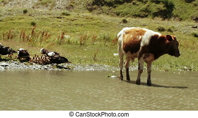 Wild ducks and cows in pond - In small pond swim wild ducks,...