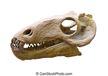 dinosaur skull in paleontological  museum