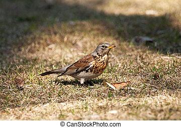 fieldfare - one fieldfare bird portrait on yellow grass
