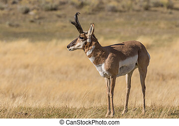 Pronghorn Antelope Buck - a nice pronghorn antelope buck on...