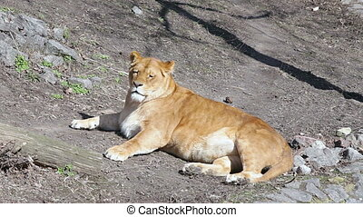 A WILD solitary female Lioness wakes and turns to look at...