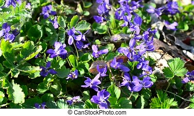 Violet flowers with bees and other insects on spring meadow...