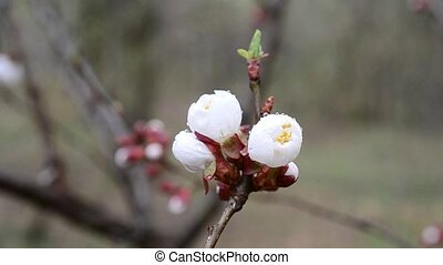 Close-up of apricot tree flower stirred by wind in spring -...