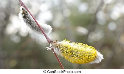 Close-up of blooming willow catkin on a twig - Close-up of...