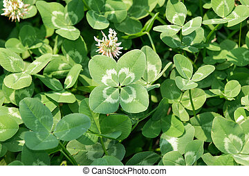 "Four-leaf clover - ""Lucky clover"" Four-leaf white clover/..."