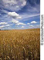 unripe cereals , field - an agricultural field on which...