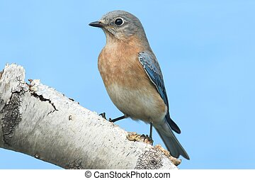 Female Eastern Bluebird (Sialia sialis) on a birch perch...