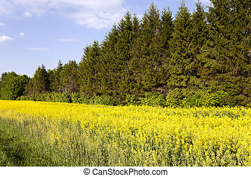 blooming rape, tree - rape flowers photographed during...
