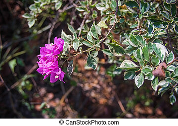 bougainvillea flower is beautiful flower in the world