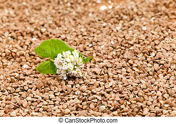 buckwheat , close up - photographed close-up grain buckwheat...