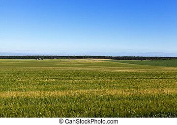 immature green grass - photographed close-up grass green...