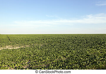 Field with sugar beet
