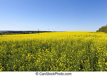 blooming rape , spring - rape flowers photographed during...