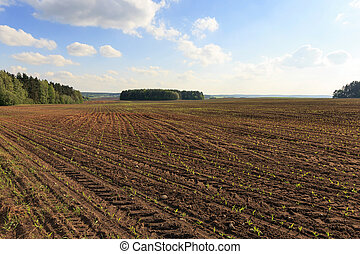 corn field , immature - Agricultural field on which grow...