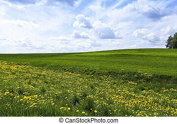 field with cereals - Agricultural field on which grow the...