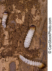 woodworm - little woodworm lies on brown tree bark