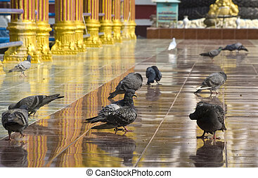 Pigeons near Buddhist temple in Thailand, Koh Samui