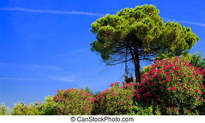 pine and flowering oleander against deep blue sky