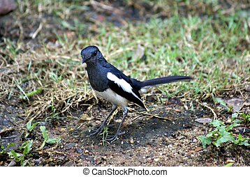 Magpie - Bird of the Corvidae crow family