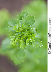 Celery - Young celery sprouting from the ground Shallow dof
