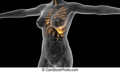 science anatomy of human body in x-ray with glow lungs....