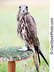 Falcon sits on a stand