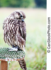Saker Falcon sits on a stand
