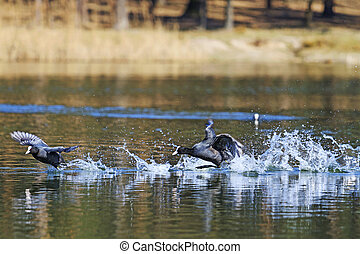 black birds love games,Dating game, coots on spring