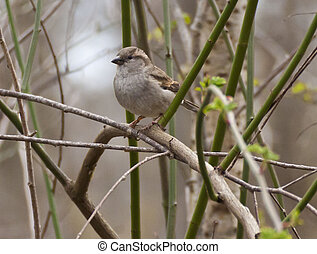 Portrait of sparrow standing on a twig - Cute sparrow...