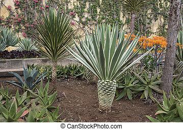 botanical garden Funchal - agave in the botanical garden of...