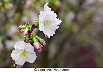 Sakura, the famouse flower of Japan, shown in Gardens by the...