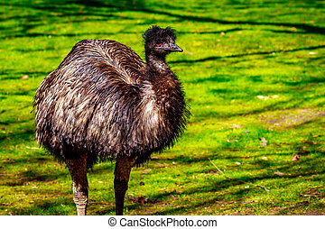 Emu on Meadow - An emu stands on the meadow, on alert