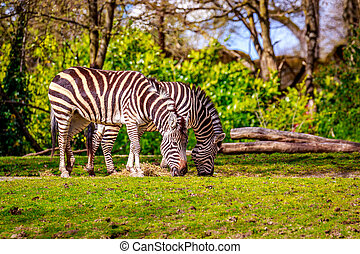Plains Zebra Feeding - Two common zebras feed on dry grass.