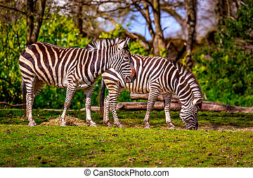 Plains Zebra Feeding - Two common zebras feed on dry grass