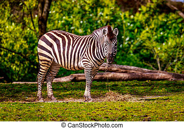 Plains Zebra Feeding - A common zebra feeds on dry grass